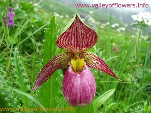 Ladies Sleeper Orchid. A very very rare flower in Valley of Flowers. It is believed that one out of 10,000 people visiting the Valley of Flowers got to see this rare Flower. This picture was taken on 4th July, 2011 by us.