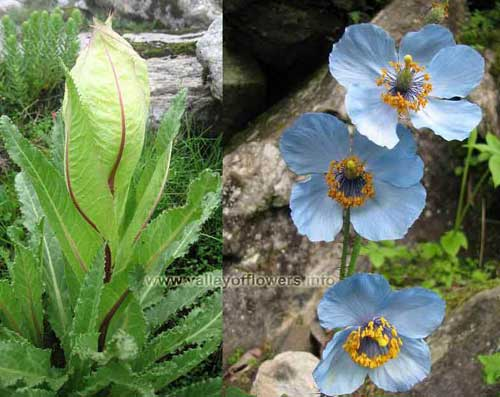 BRAHAM KAMAL and BLUE POPPY : They both are rare flowers in the World. Brhamkamal has a special significance in Hindu religion. Japaneese, specially come to Valley of flowers to see BLUE POPPY.