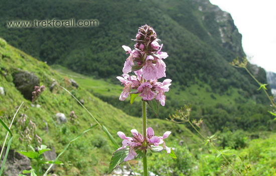 Beautiful flower in the Valley of Flowers