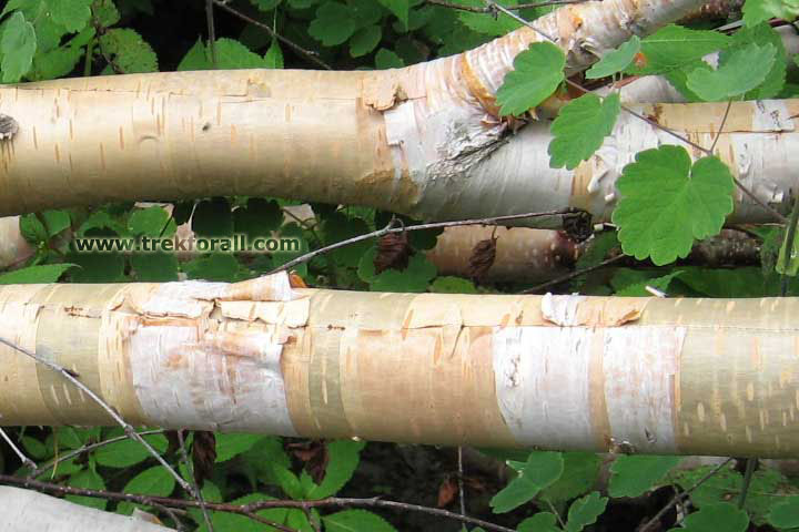 Betula Utilis found in Valley of Flowers