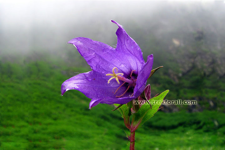 Campanulata latifolia found in valley of flowers
