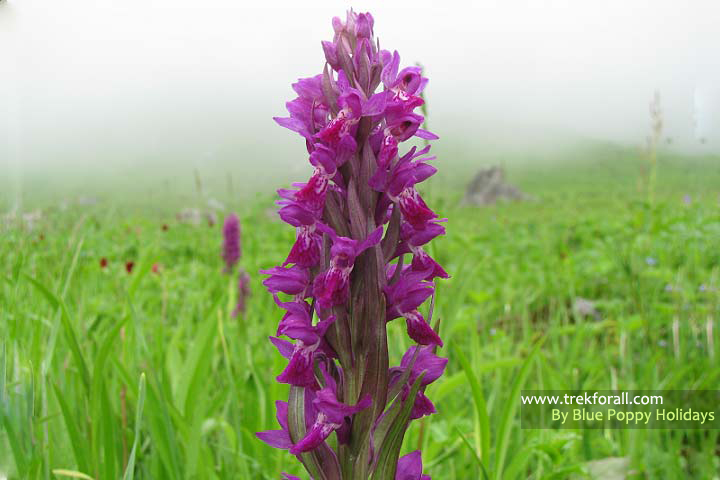 Dactylorhiza Hatagirea found in Valley of Flowers