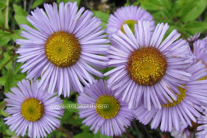 Erigeron Multiradiatus in valley of flowers