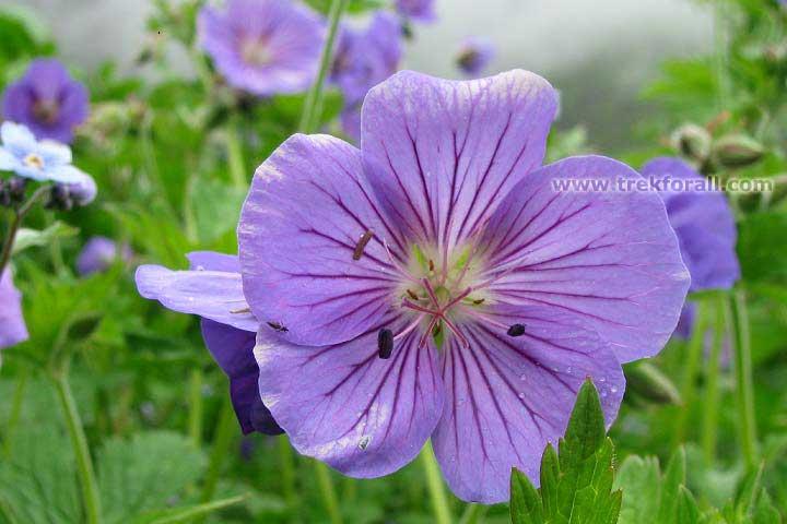 Geranium Flower, July Last week- 2012, Valley of flowers National Parks