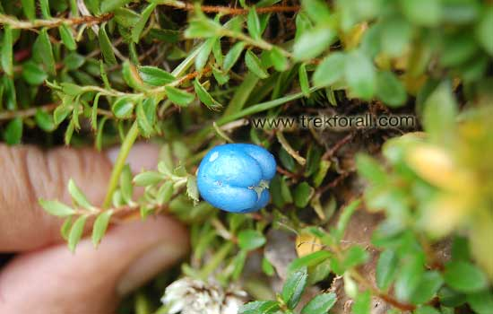 Himalayan Snowberries searched by Devkant