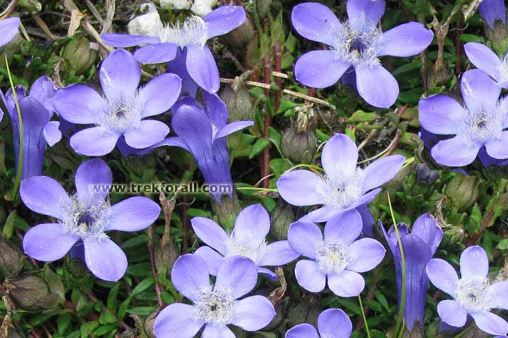 blue flowers in valley of flowers