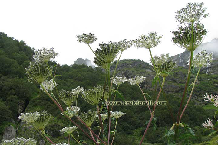 Queen Anne's Lace found in Valley of Flowers
