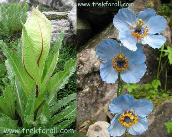Braham Kamal and Blue Poppy in Valley of Flowers