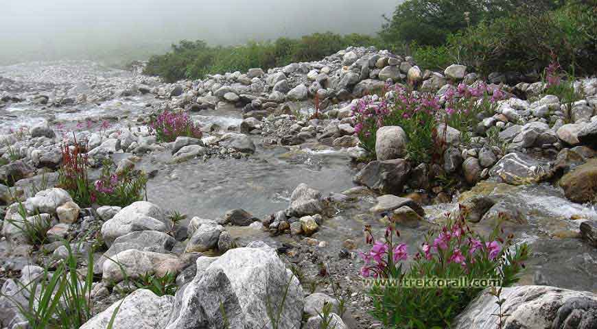 Shallow stream with Epilobium Latifolium flowers. This flower is called as River beauty.