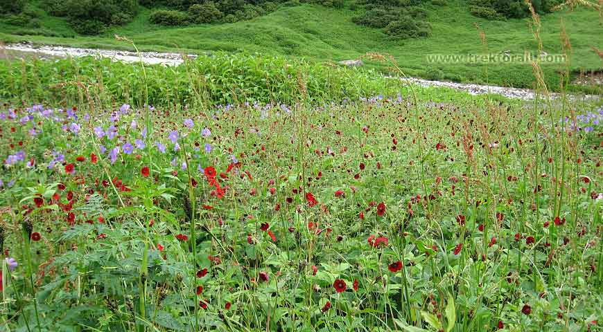 Vajardanti वज्रदन्ती  flowers in Pushpawati River bed.