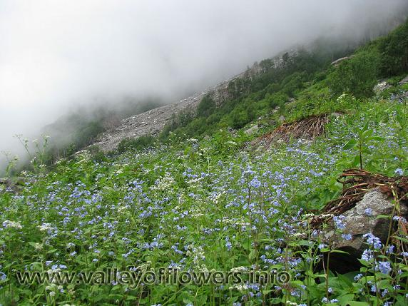 Forget me not flower paints valley of flowers in blue