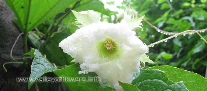 Trichosanthes Tricuspindata