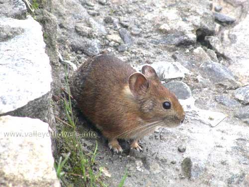tail less rat at Hemkund sahib lake