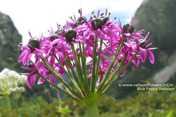 Allium Wallichi
