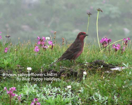 Bird found in Hemkund Sahib