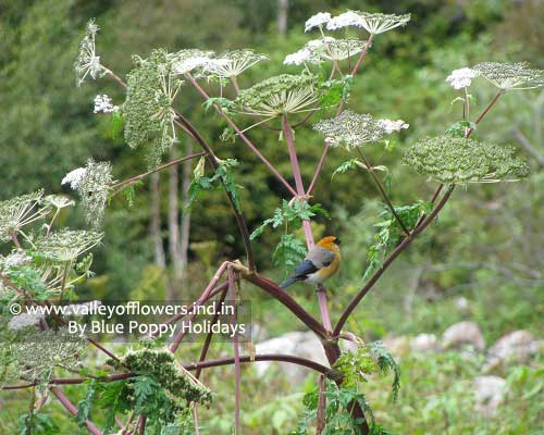 Bird sitting on plant of Angelica Archangelica