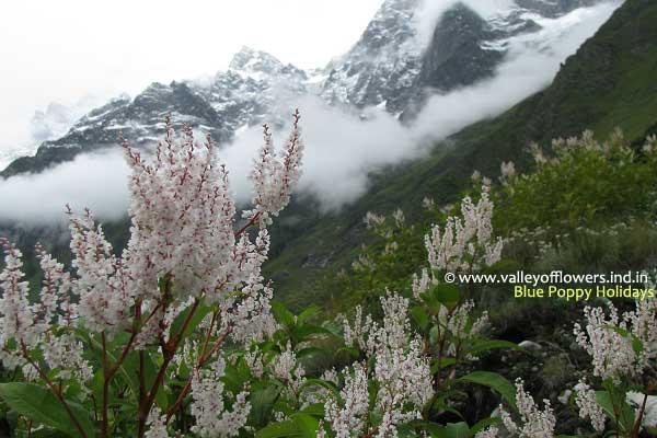 Himalayan Knotweed