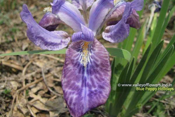 Iris Kemaonensis