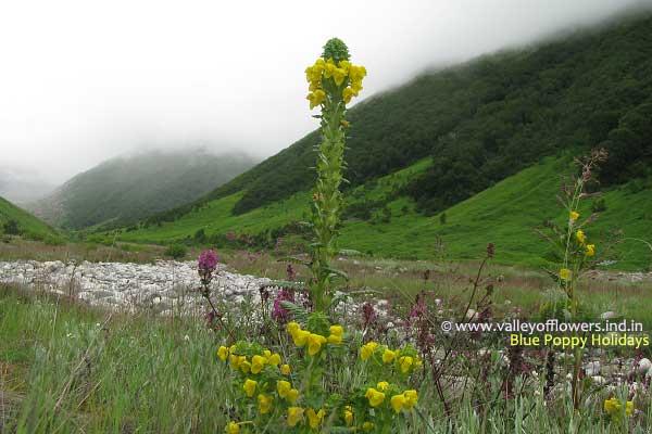 Pedicularis Bicornuta