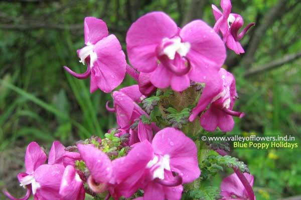 Pedicularis Punctata