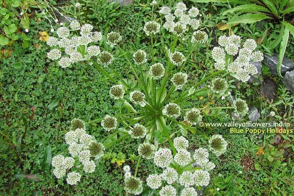 Pleurospermum Candollii