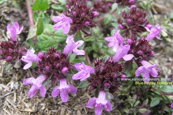 Thymus Linearis in Valley of Flowers