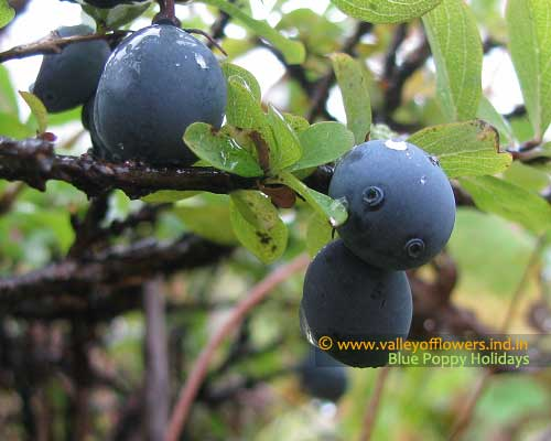 In the monthof September you will find lot of berries in the valley. A black color berry.