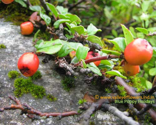 Berries in the Valley, Do not try to eat any of them unless you know about it, some of them are really poisonous.