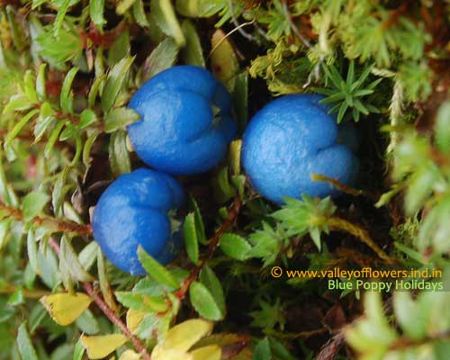 Himalayan Snow Berry in the middle part of Valley, you can find this berry even in the month of July also.