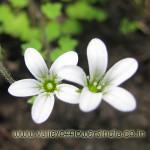 Rosa Macrophylla