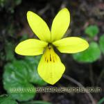 Viola Biflora