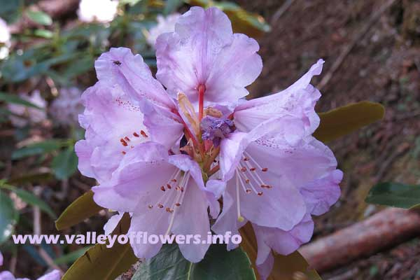 Rhododendron in Valley of Flowers. Rhododendrons are found in three colors in Valley of Flowers, white and red apart from this color.
