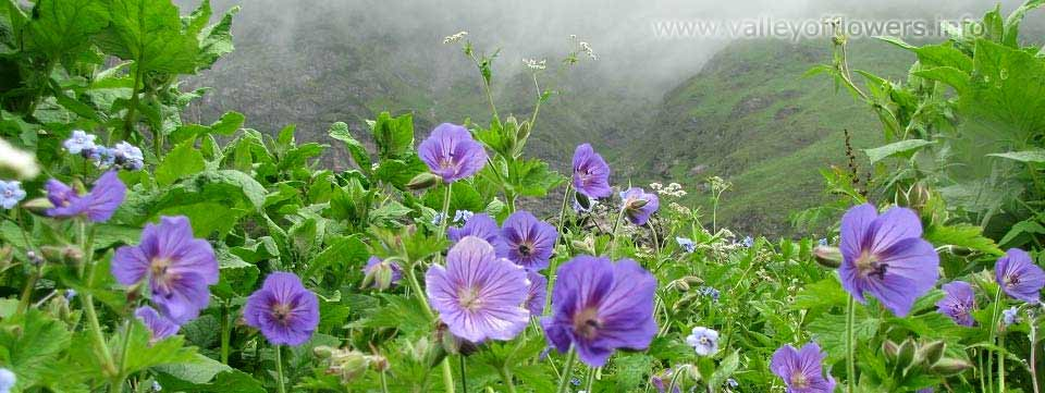 Beautiful colony Geranium in the Valley of Flowers in July last week of 2012