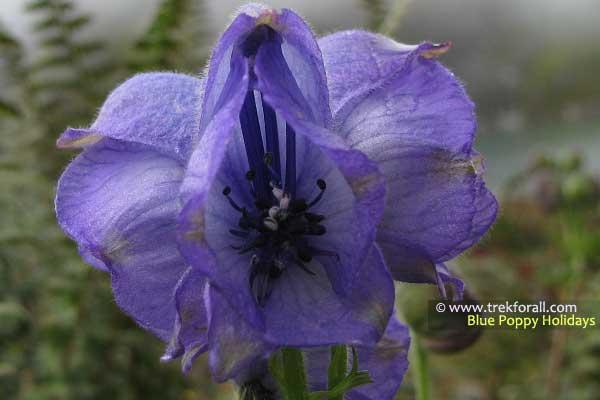 Aconitum Violaceum