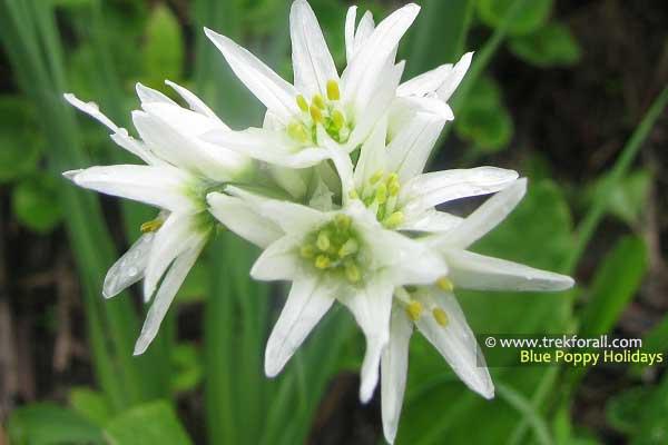 Allium Humile