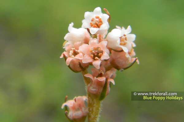Alteris Pauciflora
