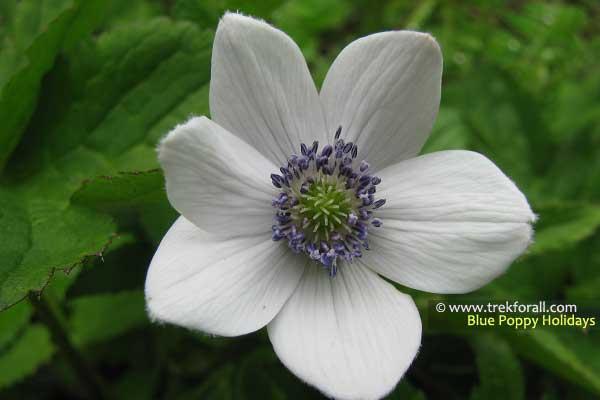 Anemone Obtusifolia