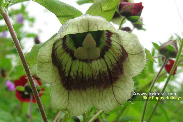 Codonopsis Rotundifolia