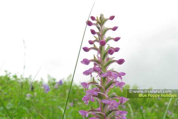 Gymnadenia Orchidis