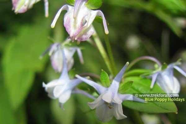 Halenia Elliptica