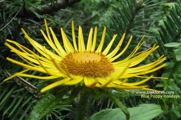 Inula Grandiflora