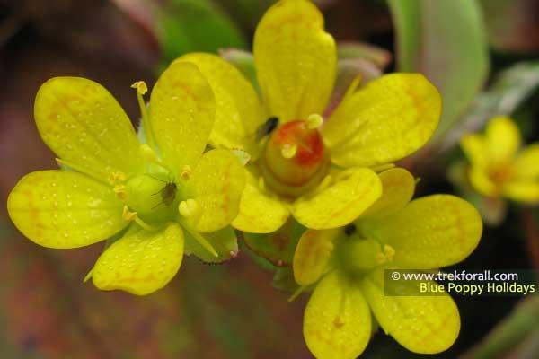 Saxifraga Parnassifolia