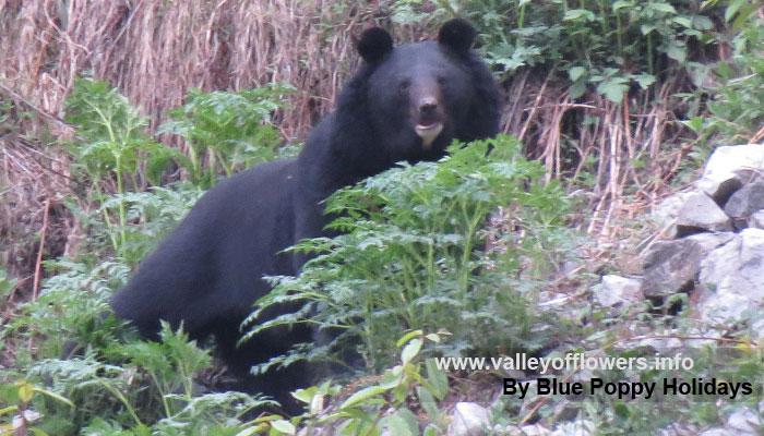 Bear at Ghangaria.