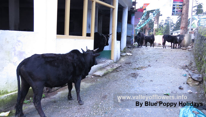 Ghangaria Village – only few cows are witnessed at Ghangaria. In this time of the year Ghangaria has never witnessed such dryness of human beings in the history.