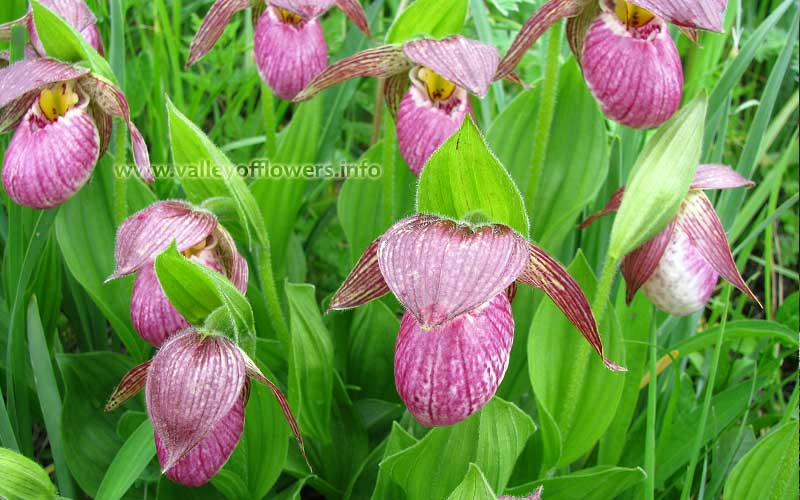 Cypripedium Himalaicum, a very rare flower found in Valley of Flowers. This is available only for a week in the second week of July.