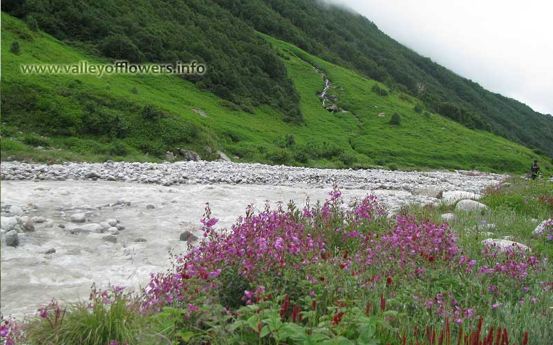 Epilobium Latifolium at Pushpawati River bed.