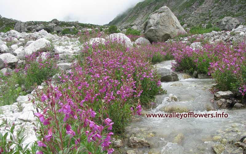 Epilobium Latifolium deep inside the Valley of Flowers.