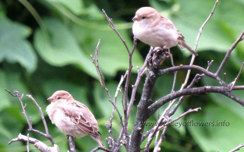 Common sparrow at Joshimath