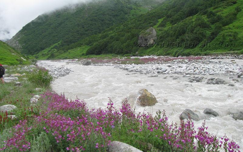 Epilobium Latifolium and Pedicularis Bicornuta on the bank of River Pushpawati.