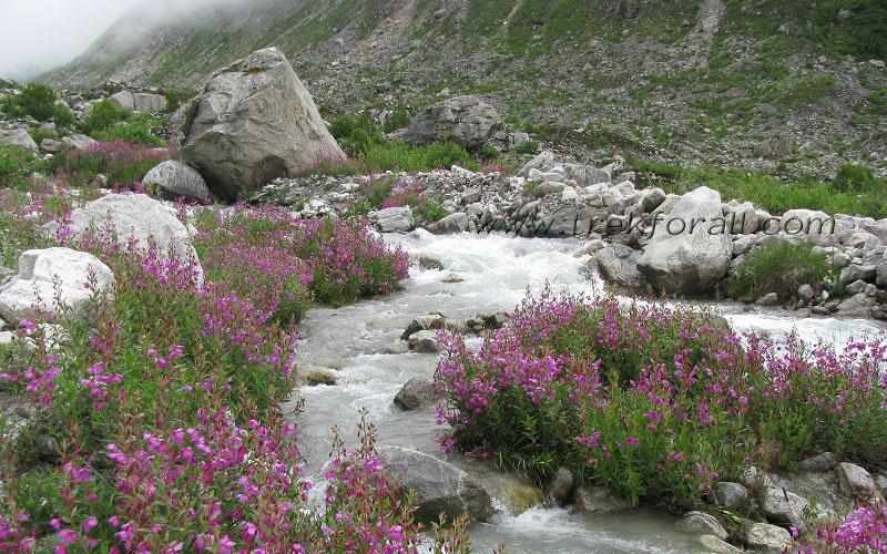Epilobium Latifolium on the bank of a beautiful stream inside the Valley of Flowers.